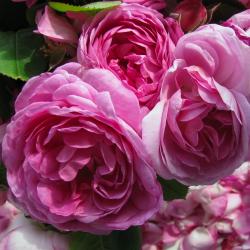 Ulei de lemn de trandafir,...