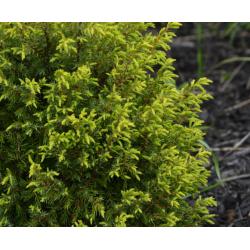Juniper wood essential oil