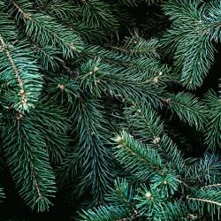 Pine Sylvestris Essential Oil