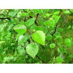 Birch extract
