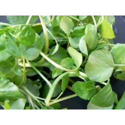 Fountain cress extract...