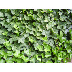 Ivy extract (Hedera helix)