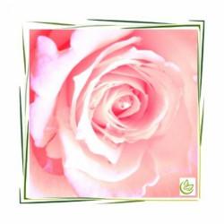 English Rose perfume oil