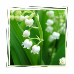 Perfume oil Lily