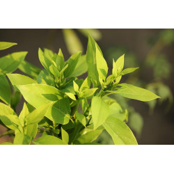Ho Leaf Essential Oil