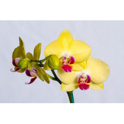 ORCHID Candle Perfume