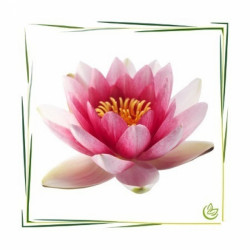 Parfum oil water lily