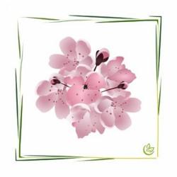 Perfume oil Cherry Blossom