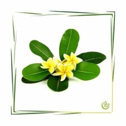 Perfume oil Plumeria