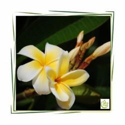 """Perfume oil """"Monoi de Tahiti"""""""