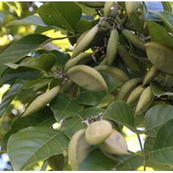 Karanj Seed essential oil