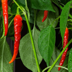 Chilli Seed Essential Oil
