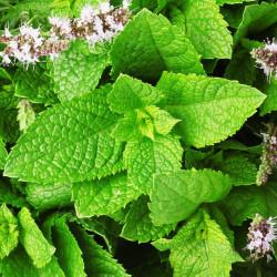 Spearmint Hydrosol Floral...
