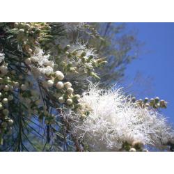 Tea Tree Hydrosol Floral Water