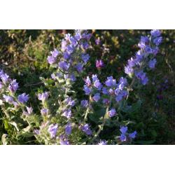 Clary Sage Hydrosol Floral...