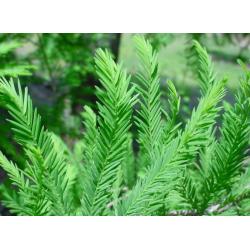 Cypress Hydrosol Floral Water