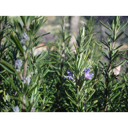 Rosemary Hydrosol Floral Water