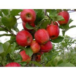"Parfume oil ""Apple garden"""