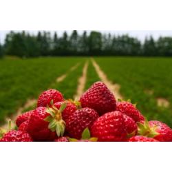 "Parfume oil ""Strawberry..."