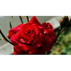 "Perfume oil ""Old english rose"""