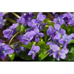 """Perfum oil  """"Wild violet"""""""